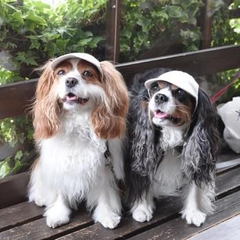 カナンちゃん(左)とクレアちゃん(右)  キャバリア・キング・チャールズ・スパニエル / ♀ 体重:7kg  FRENCH CAP (natural)タレ耳4サイズ着用  クレアちゃんとカナンちゃん親子♪ おそろいのお帽子で紫外線対策です☆ これからも当店の帽子を被ってたくさんお出かけしてくださいね♪  I.M.GALLERY blog  ★キャバリア・キング・チャールズ・スパニエルのクレアちゃんとカナンちゃん★