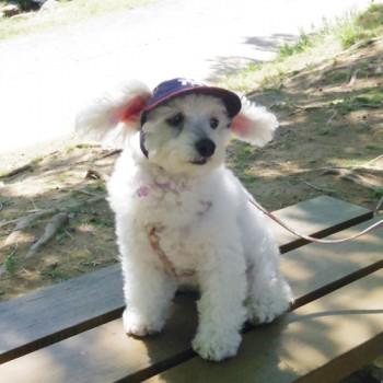 リリィちゃん  トイプードル / ♀ 体重:3.6kg  I.M.G DENIM CAP (red) タレ耳3サイズ着用  真っ白のリリィちゃん。 風でお耳がふわっとしていて、とてもかわいいです☆  I.M.GALLERY blog  ★トイプードルのリリィちゃん★