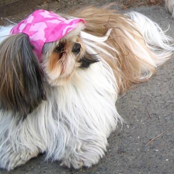 オムちゃん  シーズー / ♂ 体重:5.8kg  【charie】camouflage cap(pink) タレ耳35サイズ着用  きれいなロングコートのオムちゃん。 ピンクの帽子がよくお似合いです☆  I.M.GALLERY blog  charieモデル犬紹介~ジュニとオム~
