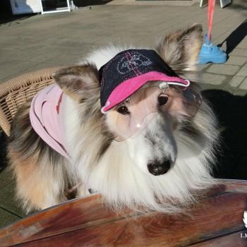 来夢ちゃん  シェットランドシープドッグ/ ♀ 体重:7kg  charie DENIM CAP+Swarovski (pink) タチ耳35サイズ着用  7年以上前から当店のお帽子をご愛用くださっている来夢ちゃん☆ トレードマークの帽子とワングラスで紫外線にも負けず今日も楽しくおでかけです♪  I.M.GALLERY blog  ★シェットランドシープドッグの来夢ちゃん★2