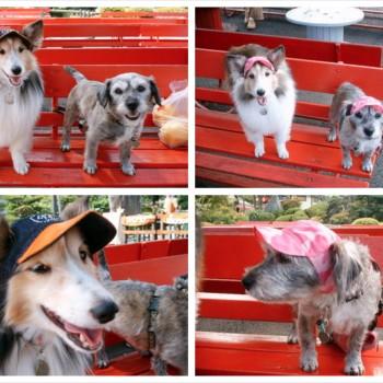 来夢ちゃん(左)とメロンちゃん(右)  シェットランドシープドッグ / MIX / ♂ 体重:7kg / 5kg  charie DENIM(orange)+Swarovski / camouflage cap(pink) タチ耳35サイズ / タレ耳35サイズ着用  とっても仲良しの来夢(らいむ)ちゃんとメロンちゃん♪ 笑顔がとっても素敵で、お帽子とってもお似合いです☆  I.M.GALLERY blog  嬉しい出来事