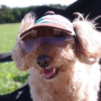 リズムちゃん  トイプードル/ ♀ 体重:3.6kg  CANDY CAP (brown×mint) タレ耳2サイズ着用 (ワングラス仕様は特注品となります)  とってもかわいい笑顔のリズムちゃん♪ 帽子とワングラスもとってもお似合いで、すてきです☆  I.M.GALLERY blog  ★トイプードルのリズムちゃんとチワプーのサニーくん★
