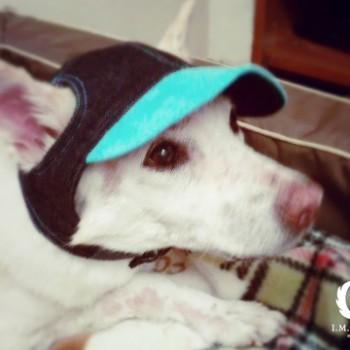 しずかちゃん  MIX / ♀ 体重:14.9kg  【charie】DENIM CAP(blue)  タチ耳42.5サイズ着用  美人さんのしずかちゃん。白い毛にブルーがとても映えています☆  I.M.GALLERY blog ★MIX犬のしずかちゃん★
