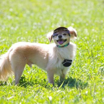サニーくん  MIX(チワプー)/ ♂ 体重:3.8kg  CANDY CAP (brown×mint) タチ耳3サイズ着用 (ワングラス仕様は特注品となります)  お出かけ大好きで、元気いっぱいのサニーくん♪ 帽子とワングラスで紫外線対策もバッチリですね!  I.M.GALLERY blog  ★トイプードルのリズムちゃんとチワプーのサニーくん★
