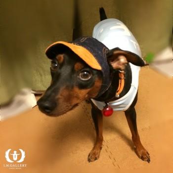 ジンくん  ミニチュアピンシャー / ♂ 体重:6.5kg  charie DENIM CAP (orange) タチ耳30サイズ着用  とっても穏やかで人も犬も大好きなハルくん。 キャップを被って、またたくさんお出かけしてくださいね♪  I.M.GALLERY blog  ★ミニチュアピンシャーのジンくん★