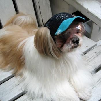 ジュニ  シーズー / ♂ 体重:6.0kg  【charie】DENIM(blue)+Swarovski  タレ耳35サイズ着用  きれいなロングコートのジュニアくん。 ワングラスで紫外線対策、とてもお似合いです☆  I.M.GALLERY blog  charieモデル犬紹介~ジュニとオム~